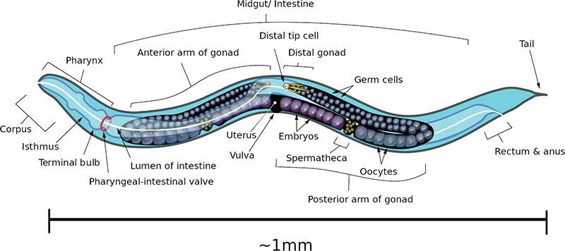 Nematode Diagram